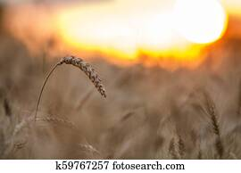 Warm Colored Golden Ripe For Harvesting Wheat Field