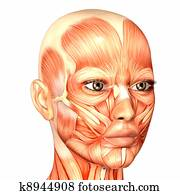 Female Face Anatomy