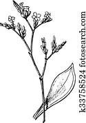 Statice or Sea Lavender, vintage engraving.