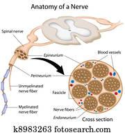 Anatomy of a nerve