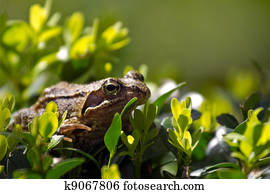 Common frog on buxus bush