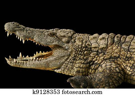 Alligator shows his teeth