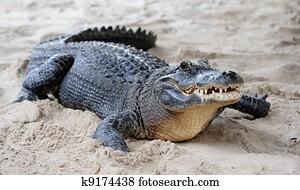 Alligator closeup on sand