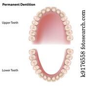 Permanent teeth, eps8