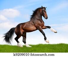 Bay horse gallops in field.