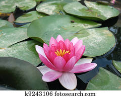 water lily stock illustrations 1 314 water lily clip art images and rh fotosearch com water lily pads clipart water lily flower clipart