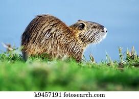 Wildlife Photos - Nutria