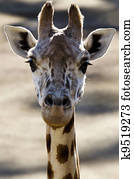 Wildlife and Animals - Giraffe