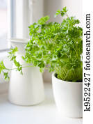 Green parsley (Petroselinum hortense) in a pot on a kitchen window