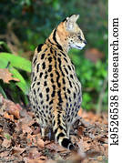 Wildlife and Animals - Serval