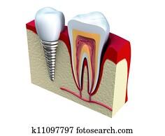Anatomy of healthy teeth
