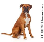Beautiful Boxer dog