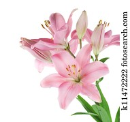 Beautiful Pink Lily Isolated On White