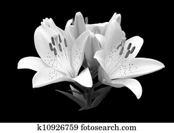 black and white flower lily.