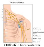 Brachial plexus, eps10