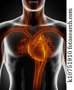 Cardiovascular system with heart