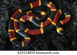 Coral Snake on Black 3
