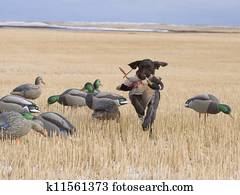 Field Duck hunting