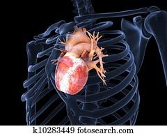 Human heart in X-ray