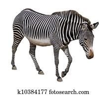 Isolated Grevy zebra