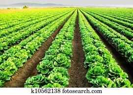 Lettuce fields in Salinas, CA