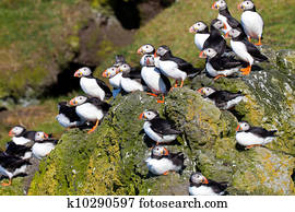 Many Puffins on a cliff
