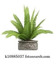 Nephrolepis fern houseplant