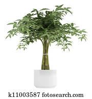 Ornamental bambpoo houseplant
