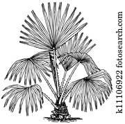 Plant Livistona australis