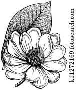 Plant Magnolia campbellii