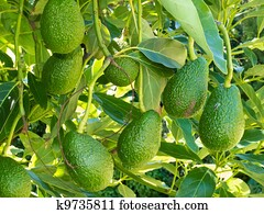 Ripe avocado fruits growing on tree as crop