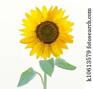Watercolor -Sunflower