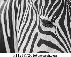 zebra skin texture.