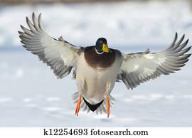 Landing Duck