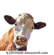 Portrait of a cute cow