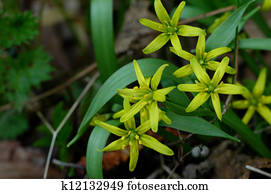 Stock Photograph Of Turkey Yellow Star Tube Flowers Close Up