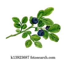 A branch of blueberries