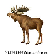 Adult Moose standing. Side view