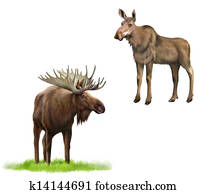 Adult moose with big horns and without, Isolated Illustration on white background.