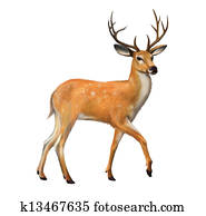 Beautiful deer with big horns Isolated illustration on white background.