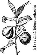 Common Nutmeg or Myristica fragrans, vintage engraving