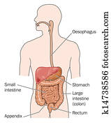 Gastrointestinal tracts and liver