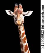 Giraffe black background
