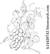 Grapes engraving.