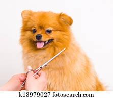 Grooming pomeranian dog