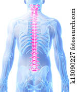 Highlighted human spine