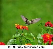 Hummingbird on a mission