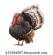 Male Turkey standing with big tail.
