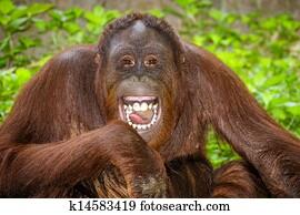 Portrait of Orangutan laughing