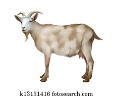 Spotted female adult Goat.